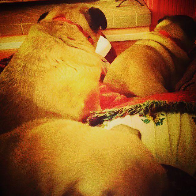 BeFunky_Pile O Pugs.jpg